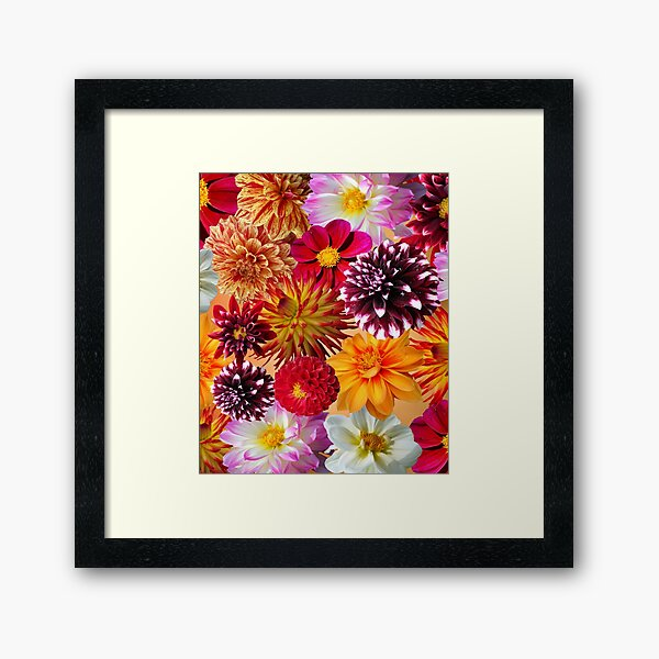Gorgeous Colorful Dahlias Framed Art Print