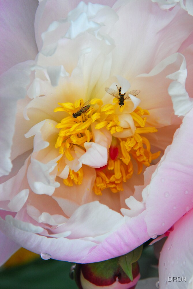 BIG PEONY - TWO  LITTLE BEES by DRON