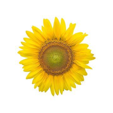 Sunflower by allisonjo