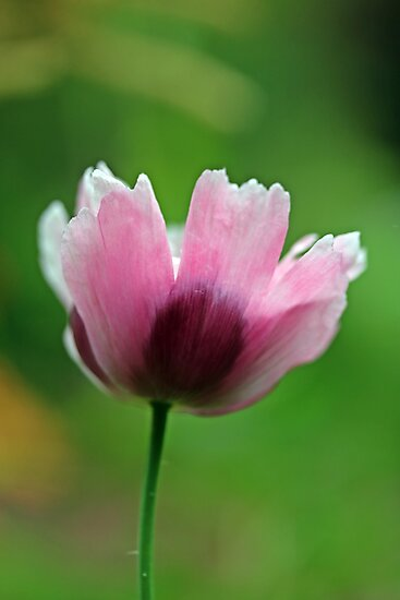 Pink ornamental poppy  by Catherine Maughan