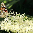 Butterfly on Elderflower by Morag Bates