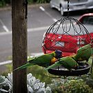 Parrots on drinking bowl Leith Park 20170519 0573  by Fred Mitchell