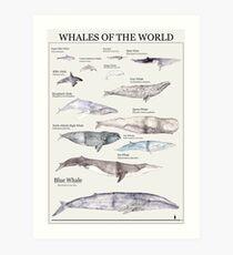 Lámina artística Las ballenas del mundo