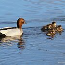 Australian Woodduck with chicks  (4824) by Emmy Silvius