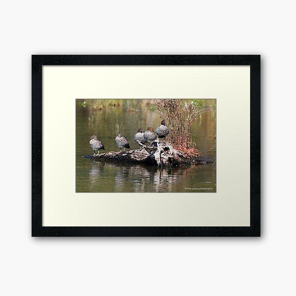 Australian Woodducks  (3847) Framed Art Print