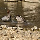 Australian Woodducks  (320) by Emmy Silvius
