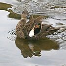 Chestnut Teal - female (4220) by Emmy Silvius