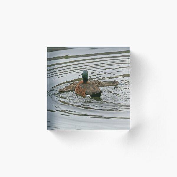 Chestnut Teals - mating (4122) Acrylic Block