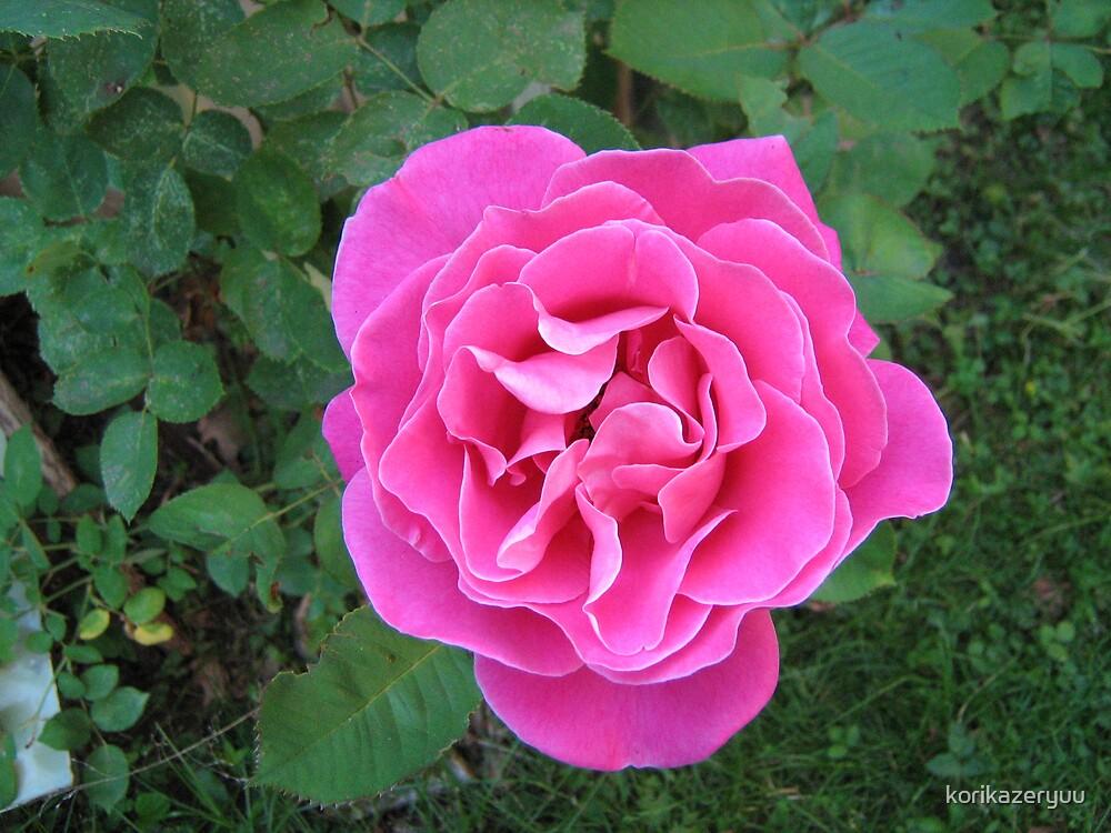 First Pink Rose by korikazeryuu