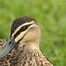 Pacific Black Duck (2244) by Emmy Silvius