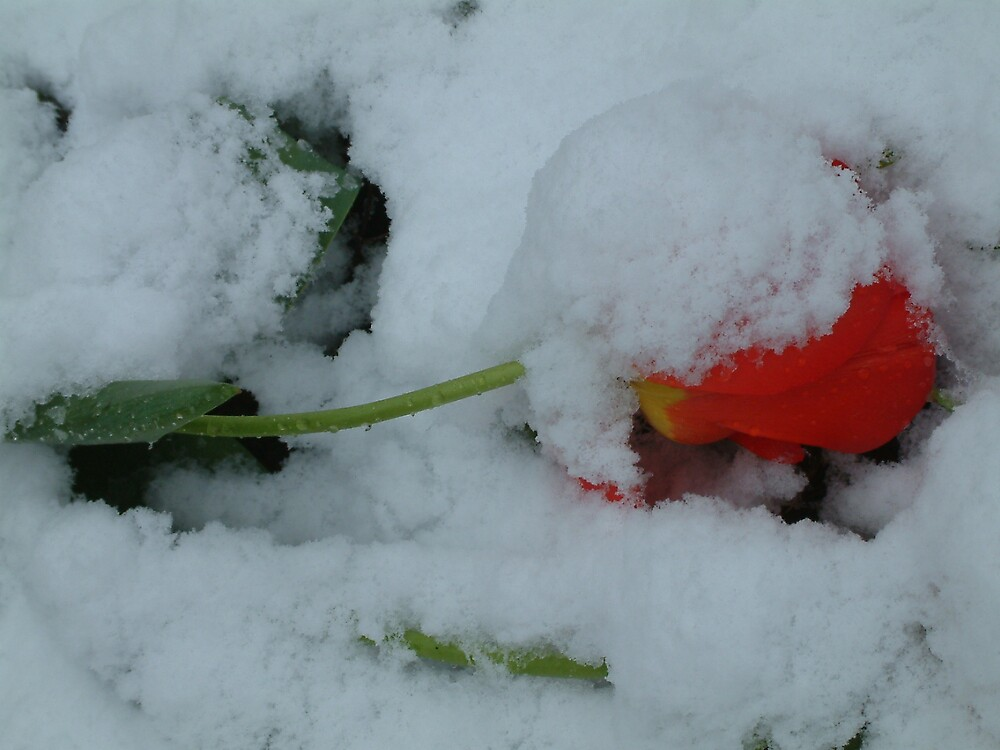 Red tulip-snow by moix