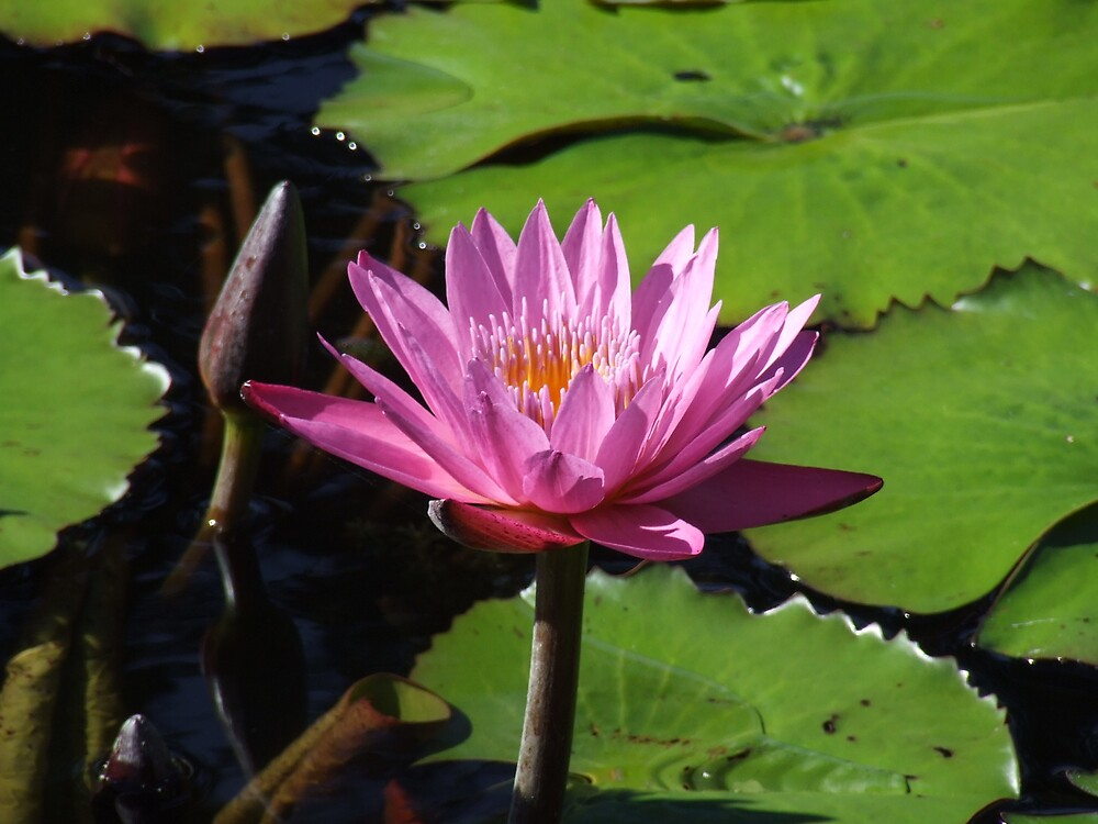 brooklyn water lily by Mayware