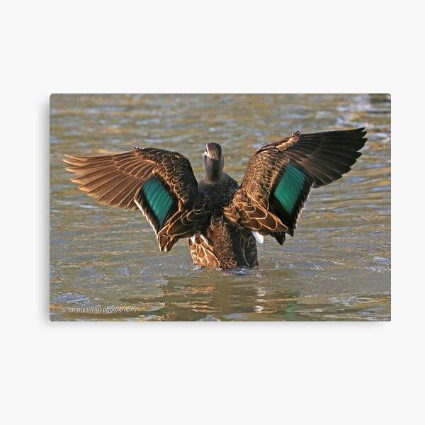 Pacific Black Duck (59) Canvas Print