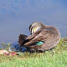 Pacific Black Duck (545) by Emmy Silvius