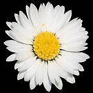 Top View of a White Common Daisy Isolated on Black by taiche