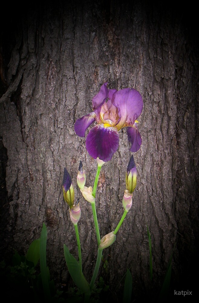 Old Fashioned Iris by katpix