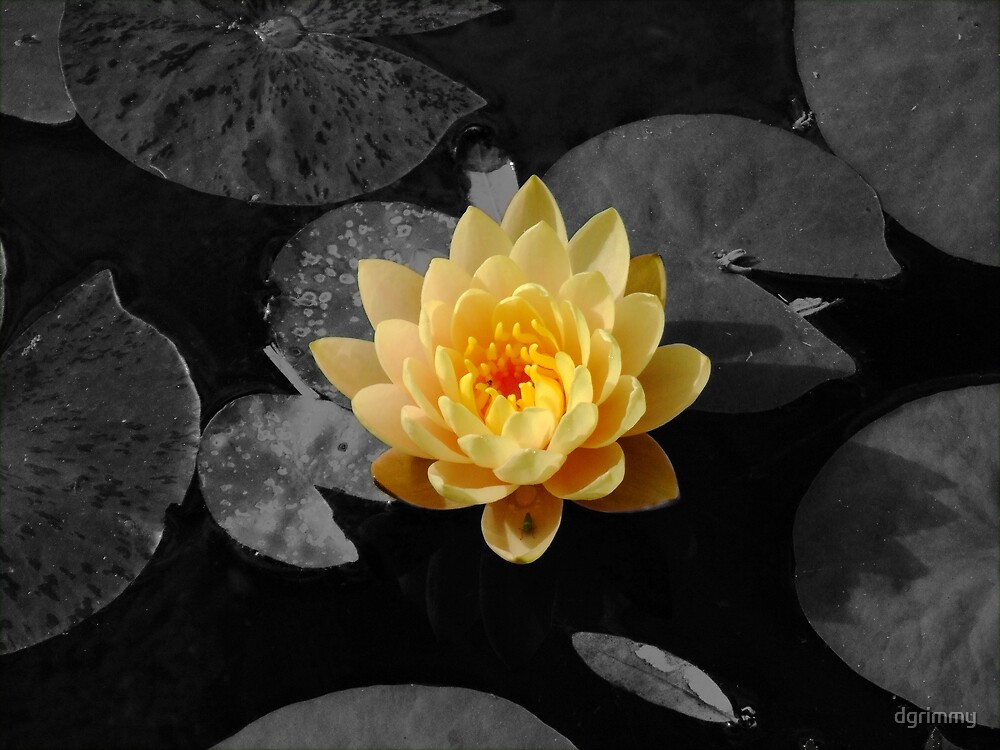 orange water lilly by dgrimmy
