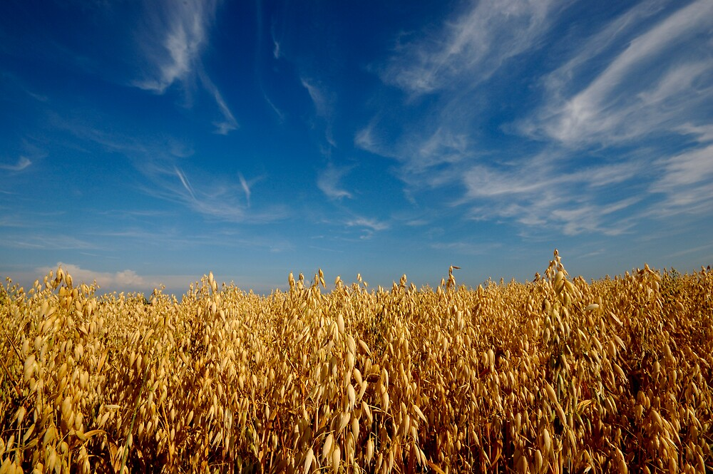 Wheatfield in Summer by Charles Howarth
