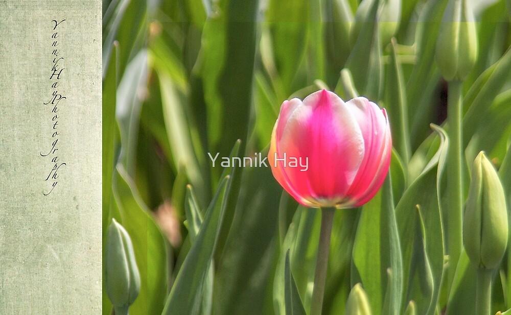 First Tulip by Yannik Hay