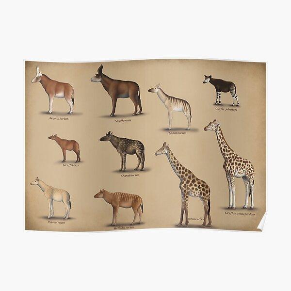 Giraffidae- giraffe, okapi, and their extinct relatives. Poster