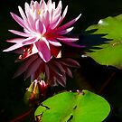 Pink Water Lily by Beth Brightman
