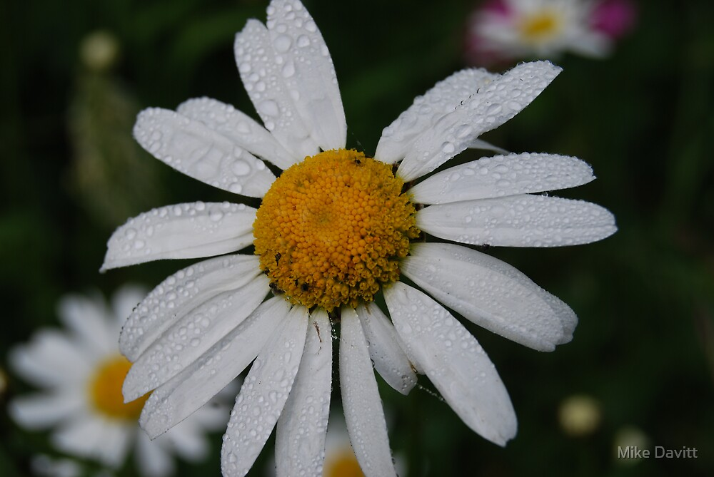 Daisy Daisy give me your answer do! by Mike Davitt