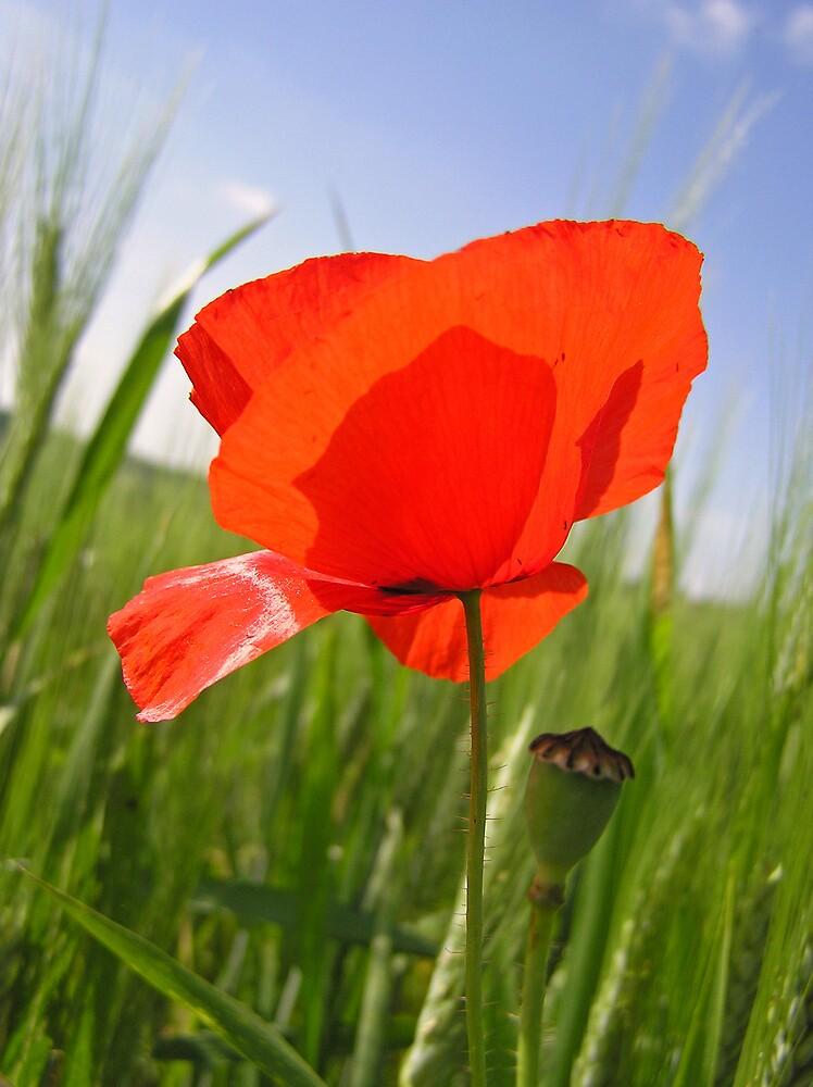 Poppy by Catherine Beldon