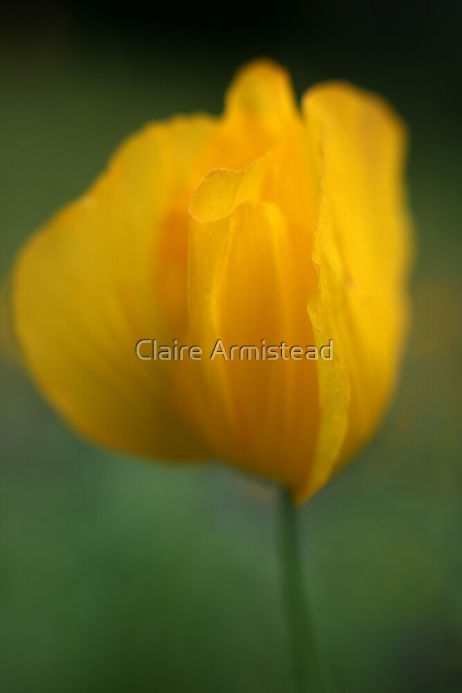 Poppy by Claire Armistead