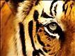 tiger eyes by seekerz