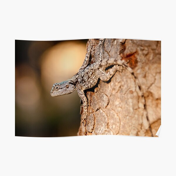 Southern Tree Agama, Kruger National Park, South Africa Poster
