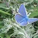 Blue Wings by orko