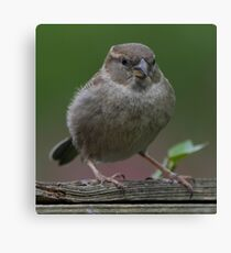 Female Sparrow in the Wild Canvas Print