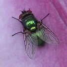 59 - A GREEN BOTTLE FLY ON OUR CLEMATIS - 01 (D.E. 2008) by BLYTHPHOTO