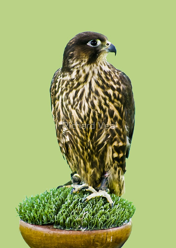 Falcon by kcphotography