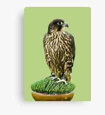 Falcon Canvas Print