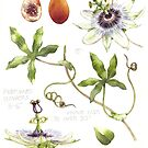 Passionflower  by Helen Lush