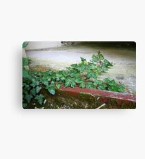 Ivy in abandoned guesthouse 2 Canvas Print