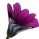 purple velvet ... by SNAPPYDAVE