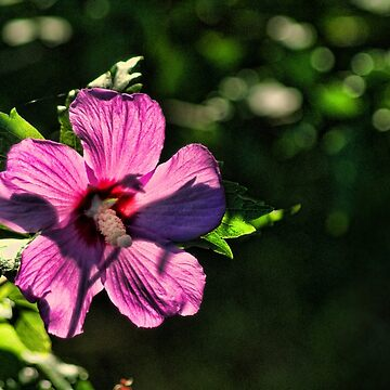 Sun Kissed Hibiscus by RickF