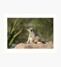 Meerkat at Werribee Open Range Zoo Number 2 Art Print