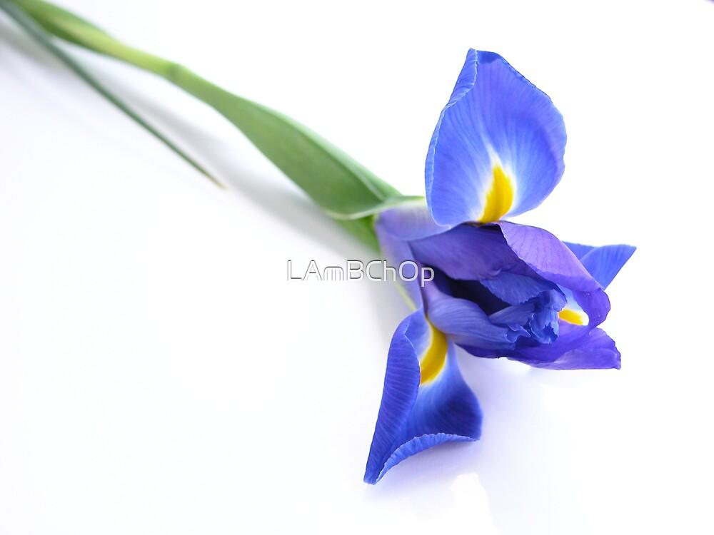 Blue Iris by LAmBChOp