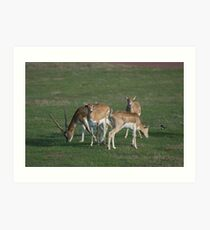 Antelopes at Werribee Open Range Zoo Art Print