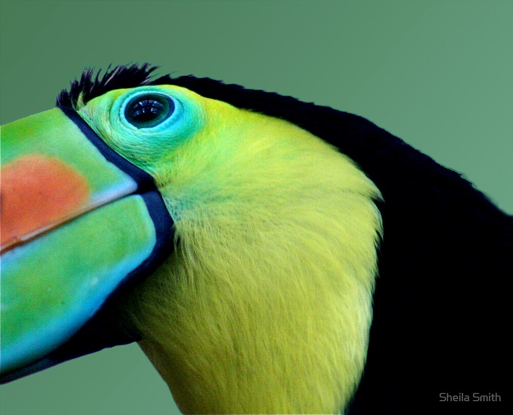 Toucan by Sheila Smith
