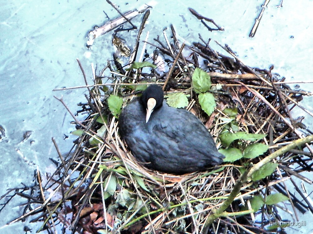 Coot on its nest  by hilarydougill