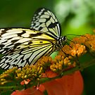 Rice Paper Butterfly by Bonnie T.  Barry