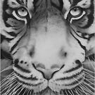 Tiger. by zarydoesart
