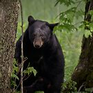 Cades Cove Bear II by Douglas  Stucky