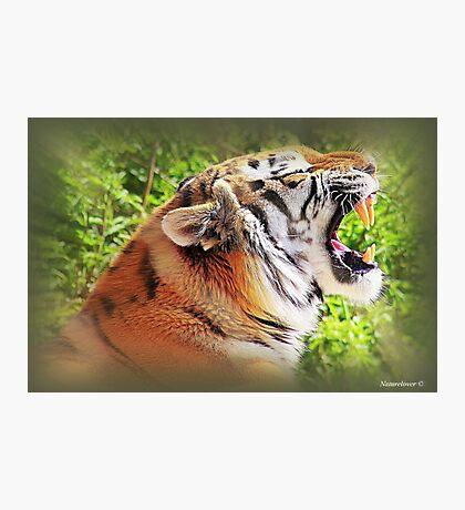 Tiger Tantrums Photographic Print