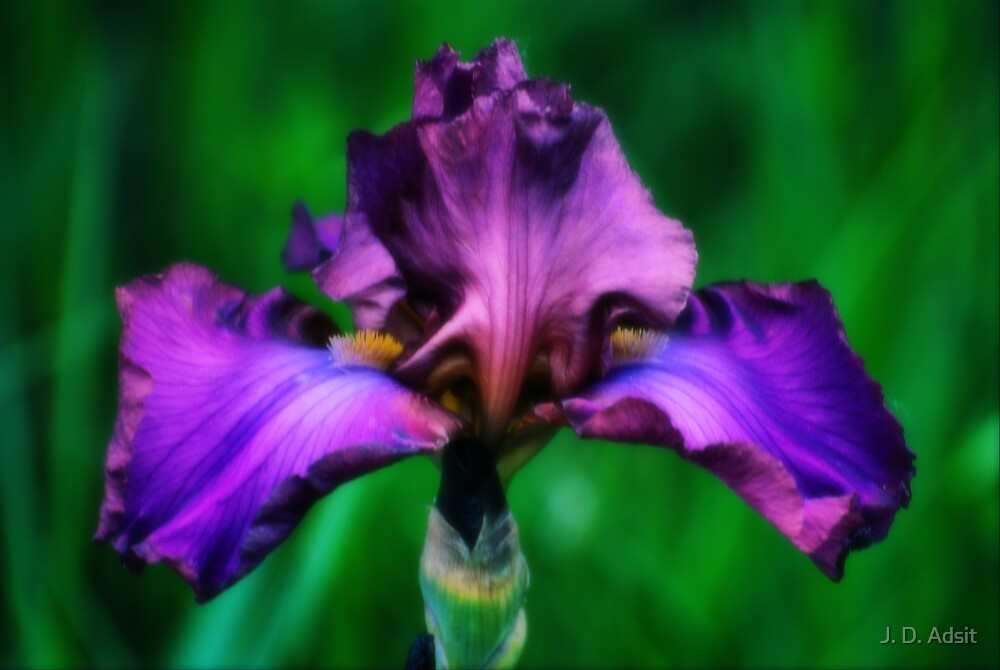 Iris in Royal Purple by J. D. Adsit