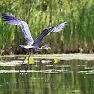 Great Blue Heron, 1 by Tamara  Kaylor